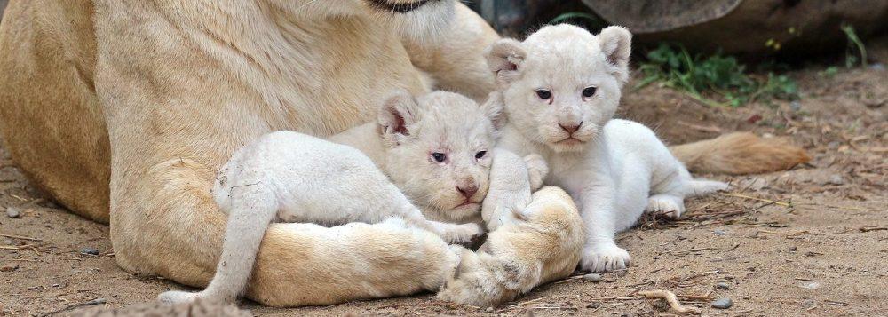 Leones albinos Tbilisi