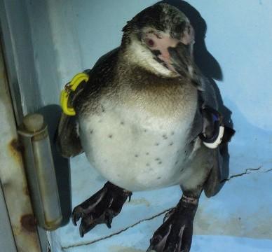 Pingüino Japón