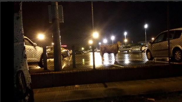 vaca-noche